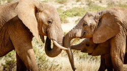 Elephants Have a Special Alarm Sound: 'Humans! Run!'