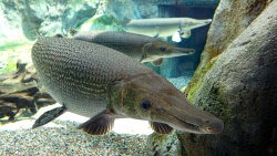 Alligator Gar: 100 Million Years Old and Still Kicking