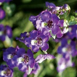 Angelonia, also commonly called snapdragon, can be cut from your garden and enjoyed in a bouquet in your home.