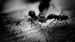 Exploding Ants Kill With Toxic Goo