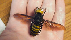 Asian Giant Hornets Are Now in the U.S. and That's Really Bad
