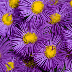 Asters serve as the symbol for the 20th wedding anniversary.