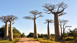 Epically Tough Baobab Trees Dying Off in Africa