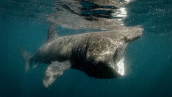 Basking Sharks Look Ferocious, But Prefer Plankton to People