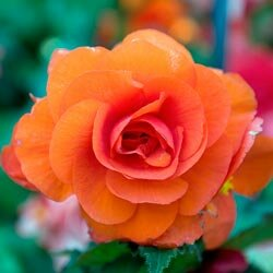 While begonias make great houseplants, they also do well in flowerbeds.