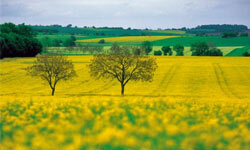 Rapeseed has a high oil content, which means it can generate more energy when burned.