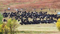 Buffalo Roundup Evokes Images of the Wild West