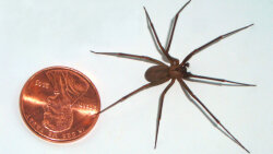 The Brown Recluse Spider: Its Reputation Is Worse Than Its Bite