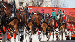 Budweiser's Clydesdales: How These 'Gentle Giants' Came to Symbolize a Brand