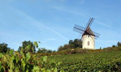 A vineyard in Burgundy, France that may be teeming with helpful fungus.