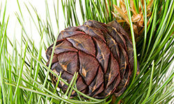 Cedar gives your home a woodsy scent.