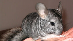 Rules for Keeping a Pet Chinchilla