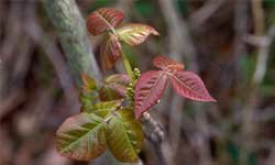 Chemicals from poison ivy can make their way around gloves and clothes.