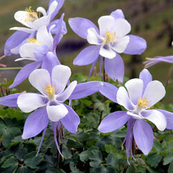 """Columbines were thought to resemble a cluster of doves, so they were named for the Latin """"columba."""""""