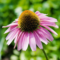 Echinacea, also known as purple coneflowers, is used as a cold remedy by some.