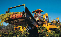 Harvesting grapes is just one of the many jobs you could have on a vineyard.