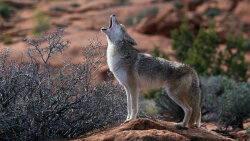 Coyotes: The 'Song Dogs' of North America