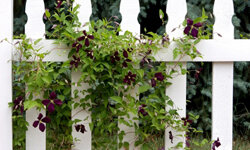 Vines can take the harsh look of a fence out of your tranquil garden.