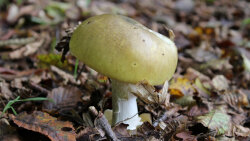 Poisonous Death Cap Mushroom Spreads Over North America