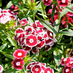 Dianthus (carnations) are one of the top 10 flowers used in constructing floats for parades.