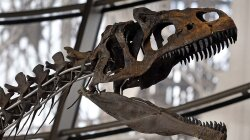 Who Owns the Rights to a Dinosaur Skeleton?