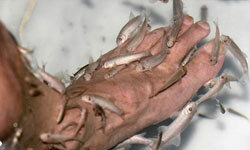 """""""Doctor fish"""" zero in on your dead skin."""