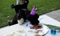 Cappy, the brother of Obama family dog, Bo, eats treats at a birthday celebration for Bo in the Rose Garden of the White House. See more dog pictures.