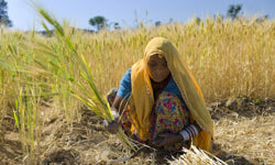 Barley crop being harvested in India.  How can we increase our food supply as our arable land decreases?