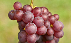Crisp grapes are many people's favorite part of fall.
