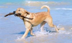 Golden retrievers enjoy walks, swimming and -- yes -- retrieving objects.