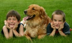 A family's best friend may be a hunting dog like this golden retriever.
