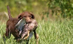 Chesapeakes were bred to work hard and they do a lot better if they have a job  -- whether retrieving birds or balls.