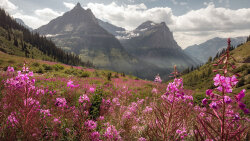 Fireweed: The Pink Pioneer