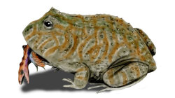 Prehistoric Frog Had a Monstrous Bite