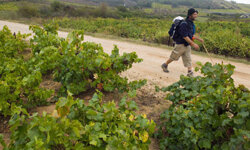 A pilgrim from Italy travels the Bierzo region of wines (in Northwest Spain). Terragona, where the Cellar de Capcanes winery is located, is on the eastern side of the country.