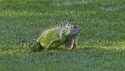 South Florida Is Overrun With Green Iguanas