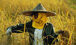 In Taiwan, gathering rice is a large part of their harvest ritual.