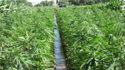 U.S. Farmers Eye Hemp as a New Cash Crop