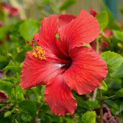 The red hibiscus flower can be a wonderful reminder of tropical travels through Hawaiian gardens.