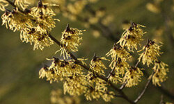 "Extracts from witch hazel have long been used in skin care, but probably never had anything to do with witches. The plant's name is thought to have come from the Old English verb ""wice,"" meaning ""to bend,"" which is a good descriptor of the plant's branches."
