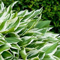There are more than 500 varieties of hosta.