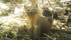 Pot Farming Threatens Adorable Weasel