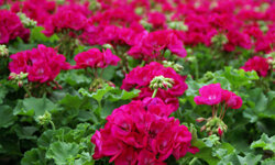 With a variety of colors, geraniums can fit in any household.