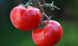 Tomatoes are much tastier when you eat them in-season. See more pictures of heirloom tomatoes.