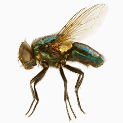A common house fly.