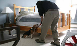 Pestec technician Carlos I. Agurto walks with Ladybug, a Beagle trained to sniff out bed bugs, as they inspect a bed in an apartment with bed bugs in San Francisco.