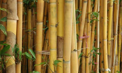 Golden bamboo can destroy native plants and the habitats they provide for wildlife.