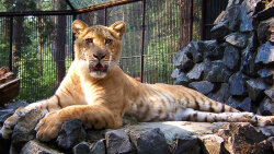 Lions, Tigers and … Ligers? Oh My!