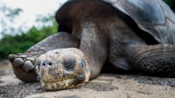 Lonesome George Lived to Be 100 Years Old. Genome Sequencing Is Figuring Out How