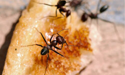 Ants will take food wherever they can find it.